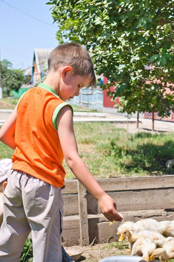 Le garçon alimente à millet le poulet génial photos stock