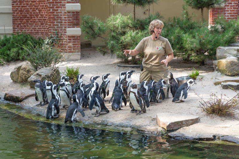 Le gardien de zoo alimente des pingouins dans le zoo d'Anvers photo stock