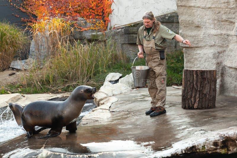 Le gardien de zoo f le zoo de Vienne alimente l'otarie photographie stock libre de droits