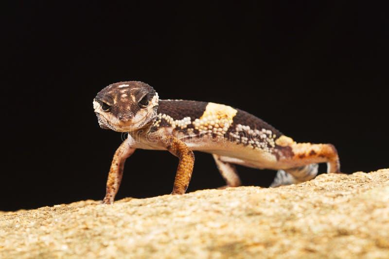 Le gecko de léopard d'Indien est, hardwickii d'Eublepharis photographie stock