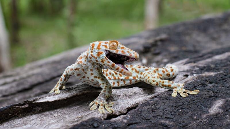 Le gecko de Tokay s'accroche dans un arbre sur le fond brouill? photo stock
