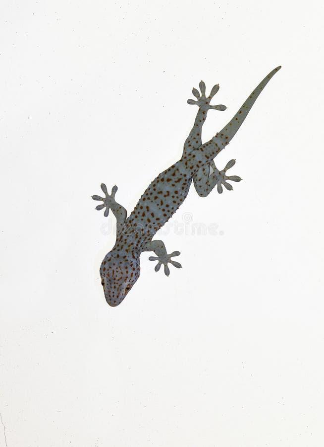 Le gecko de Tokay sur le mur gris, beaucoup de points oranges de couleur a écarté sur la peau bleue du gecko de Gekko, reptiles d images stock