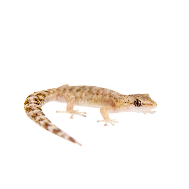 Le gecko feuille-botté avec la pointe du pied marbré sur le blanc image libre de droits