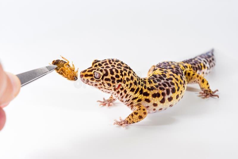 Le gecko mignon Eublepharis Macularius de léopard mange le cancrelat sur un fond blanc photo stock