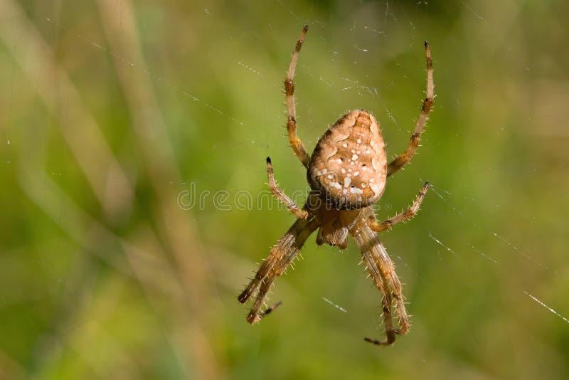 Le genre Araneus d'araignée photographie stock libre de droits