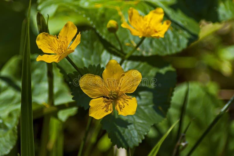 Le Geum ou l'avens jaune de lumière du soleil fleurit sur la clairière, montagne de Rila image libre de droits
