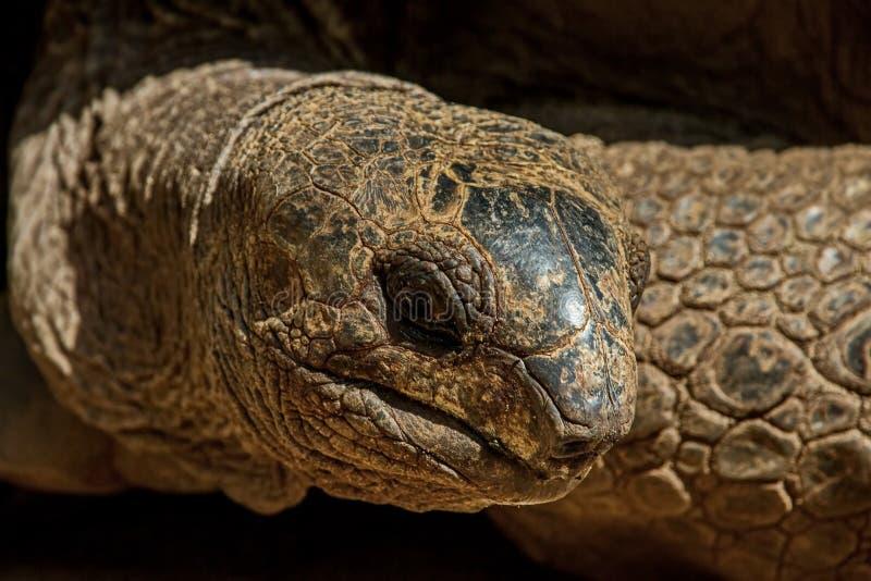 Le gigantea d'Aldabrachelys de tortue géante d'Aldabra, des îles de l'atoll d'Aldabra en Seychelles photos stock