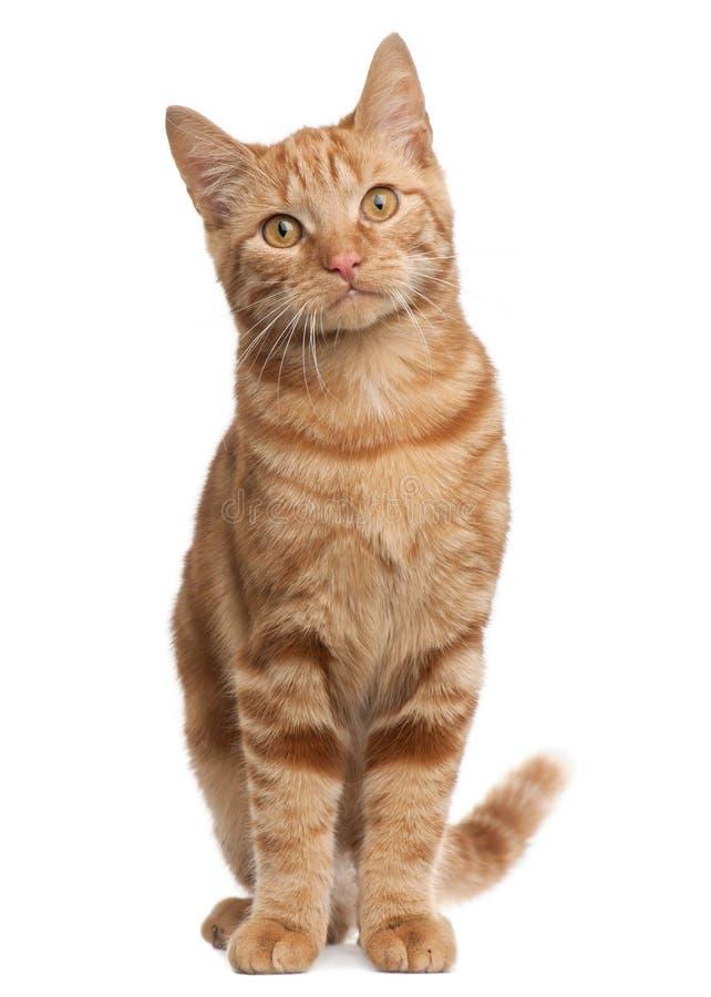 Le gingembre a mélangé le chat de race, 6 mois, se reposant image stock