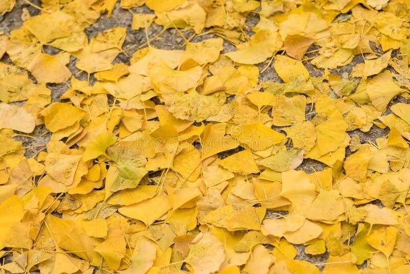 Le Ginkgo part sur le plancher pendant l'automne en retard image stock