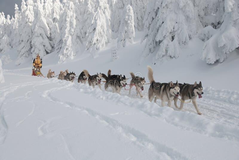 Le giovani donne-musher e lei dogsled fotografie stock