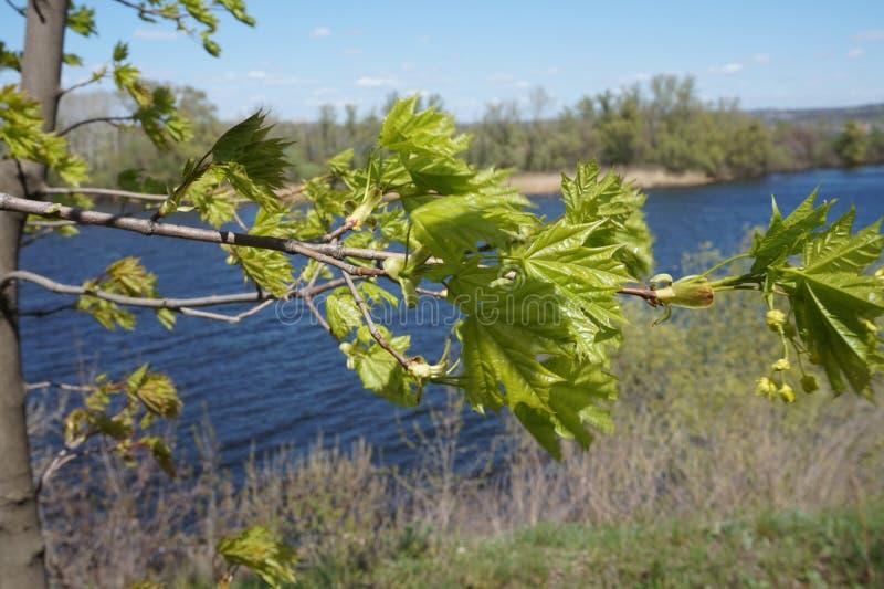 Le giovani foglie dell'acero stanno oscillando nel vento fotografia stock