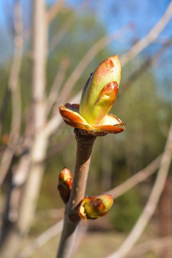 Le giovani foglie hanno strisciato dal germoglio sulla castagna fotografie stock
