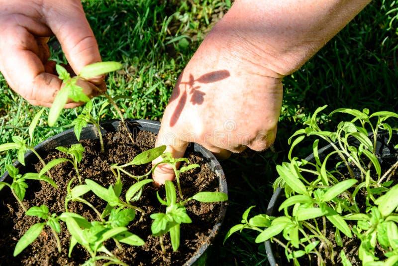 Le giovani piante di pomodori in vasi sono pronte a piantare nella terra o in serra aperta fotografia stock