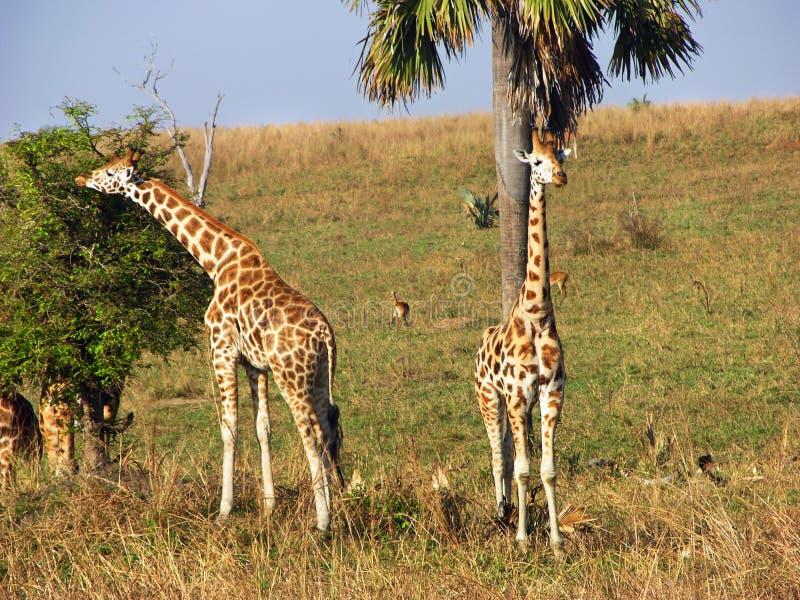 Le giraffe selvagge che si alimentano la savanna plains la riserva naturale Uganda, Africa immagine stock libera da diritti
