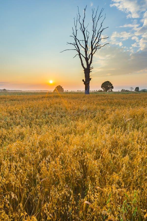 Le gisement de céréale avec le vieil arbre, paysage a photographié au matin photographie stock libre de droits