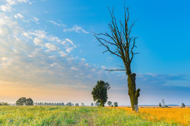 Le gisement de céréale avec le vieil arbre, paysage a photographié au matin photo stock