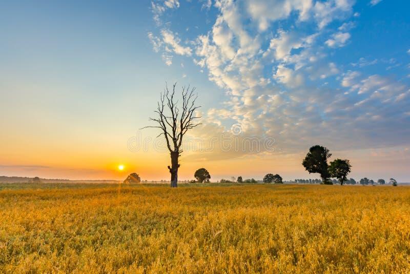 Le gisement de céréale avec le vieil arbre, paysage a photographié au matin images libres de droits