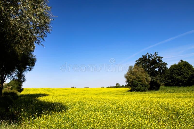 Le gisement de graine de colza avec le canola jaune de floraison fleurit le genre brassica parmi des arbres pendant un jour d'été photographie stock
