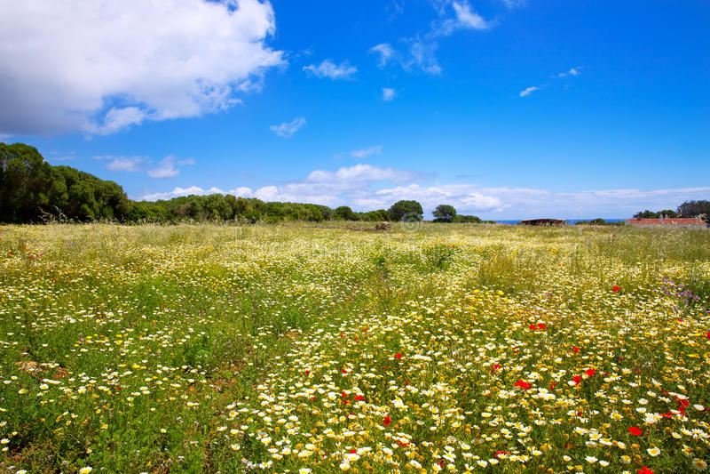 Le gisement de ressort de Menorca avec les pavots et la marguerite fleurit photos libres de droits