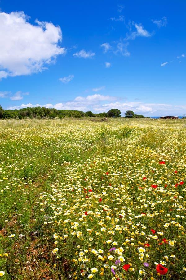 Le gisement de ressort de Menorca avec les pavots et la marguerite fleurit photographie stock libre de droits