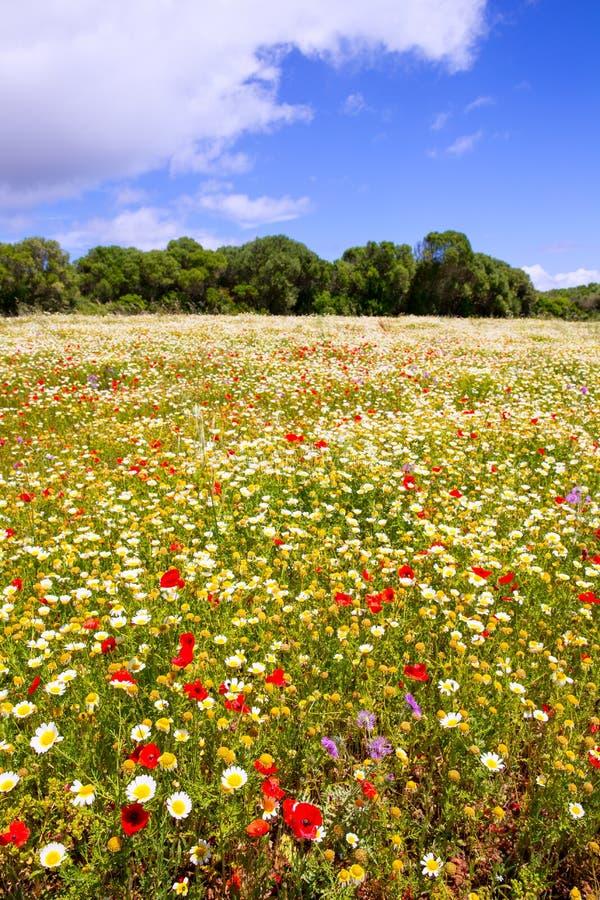 Le gisement de ressort de Menorca avec les pavots et la marguerite fleurit images stock