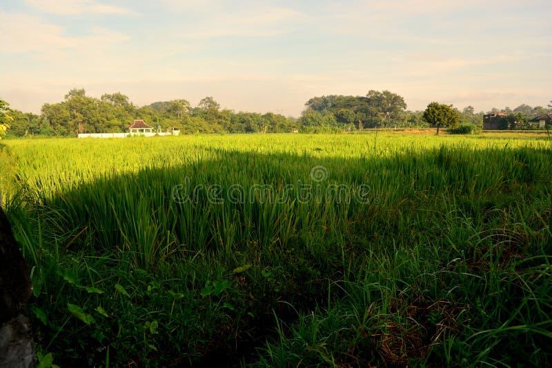 Le gisement de riz a commencé à se développer images stock