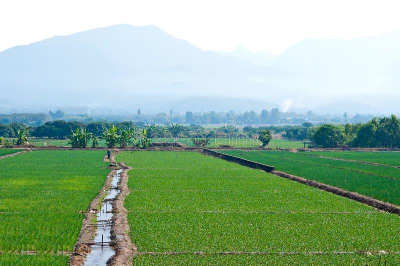 Le gisement de riz près de la montagne en Thaïlande photographie stock
