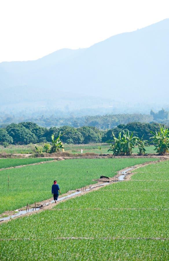 Le gisement de riz près de la montagne en Thaïlande photos stock