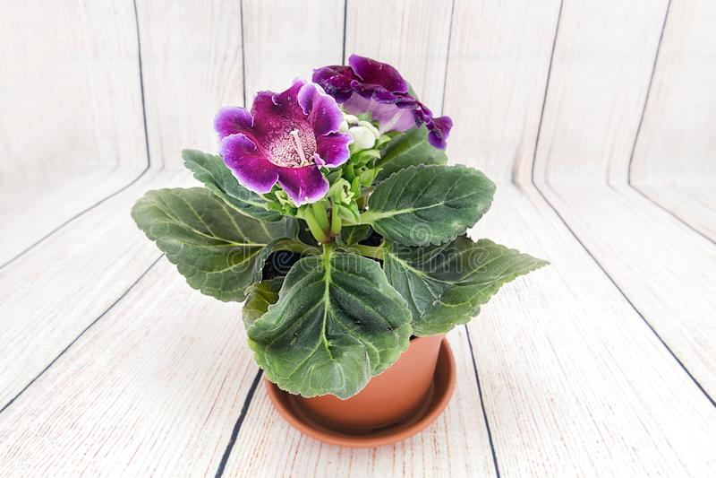 Le Gloxinia a acheté dans un fleuriste images libres de droits
