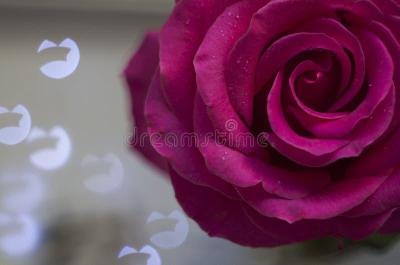 Le gocce di acqua su una rosa immagine stock