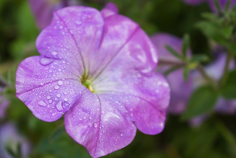 Le gocce di rugiada su una petunia porpora fioriscono fotografie stock libere da diritti