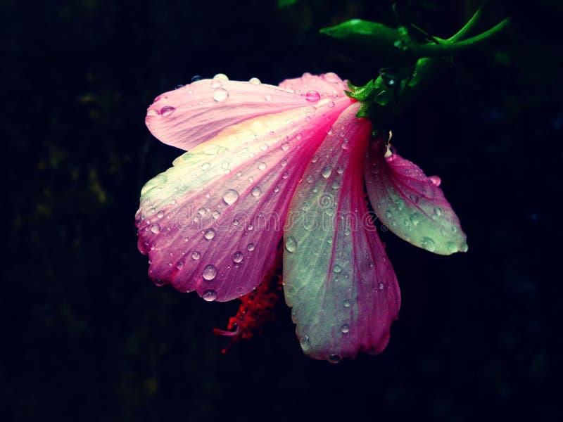 Le goccioline di acqua su una vista posteriore fioriscono su una sera immagine stock