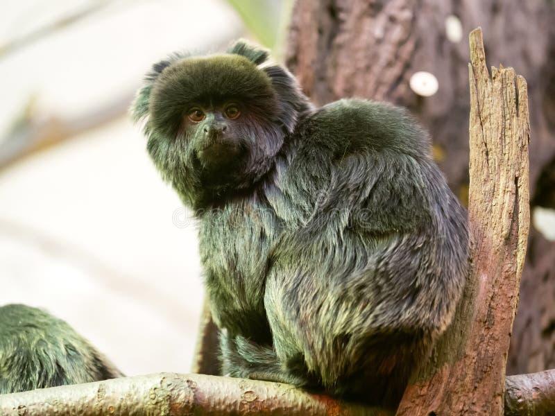 Le goeldii de Callimico, ouistiti du ` s de Goeldi, habite les forêts tropicales sud-américaines photographie stock libre de droits