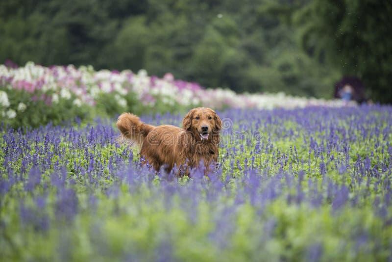 Le golden retriever mignon en fleurs photos stock