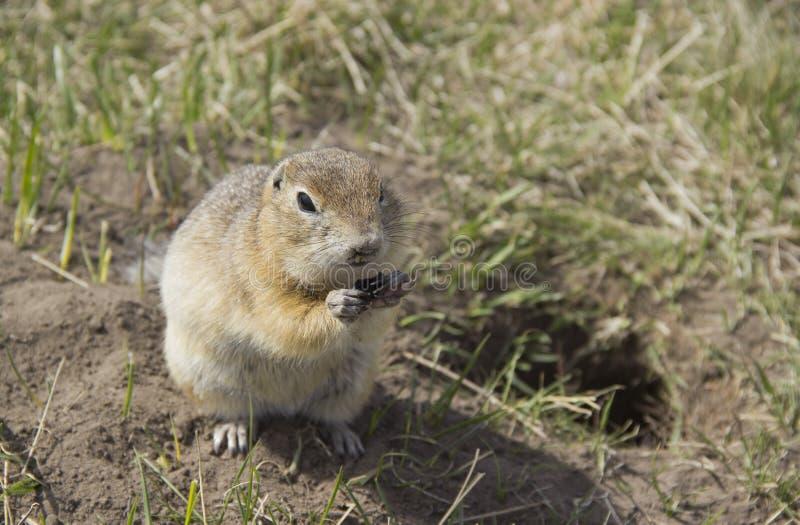 Le Gopher de genusThe de Gopher mange les graines photos stock