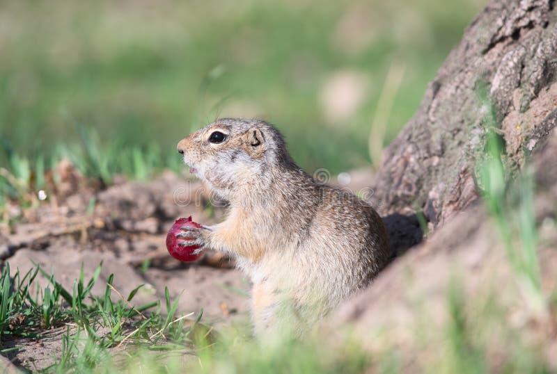 Le Gopher mange le raisin photo stock
