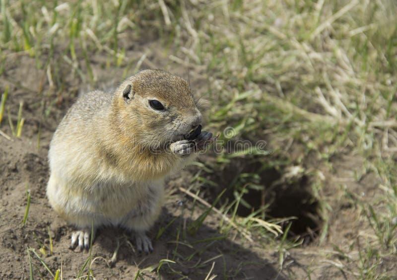 Le Gopher mange les graines photos libres de droits