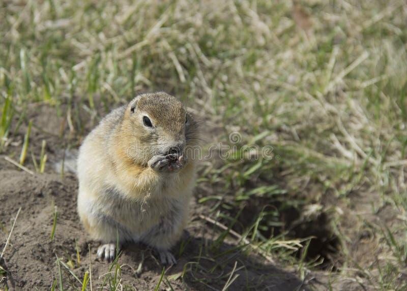 Le Gopher mange les graines image libre de droits