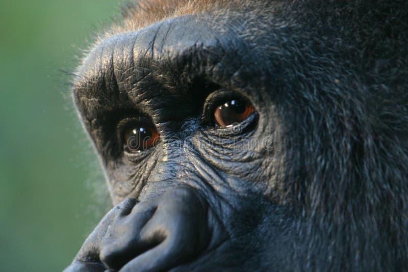 Le gorille observe (le captif) image stock