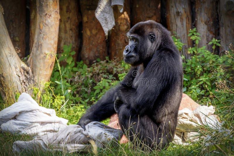 Le gorille se repose sur l'herbe images stock