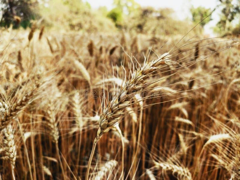 Le grain d'un blé dans les producteurs mettent en place photographie stock