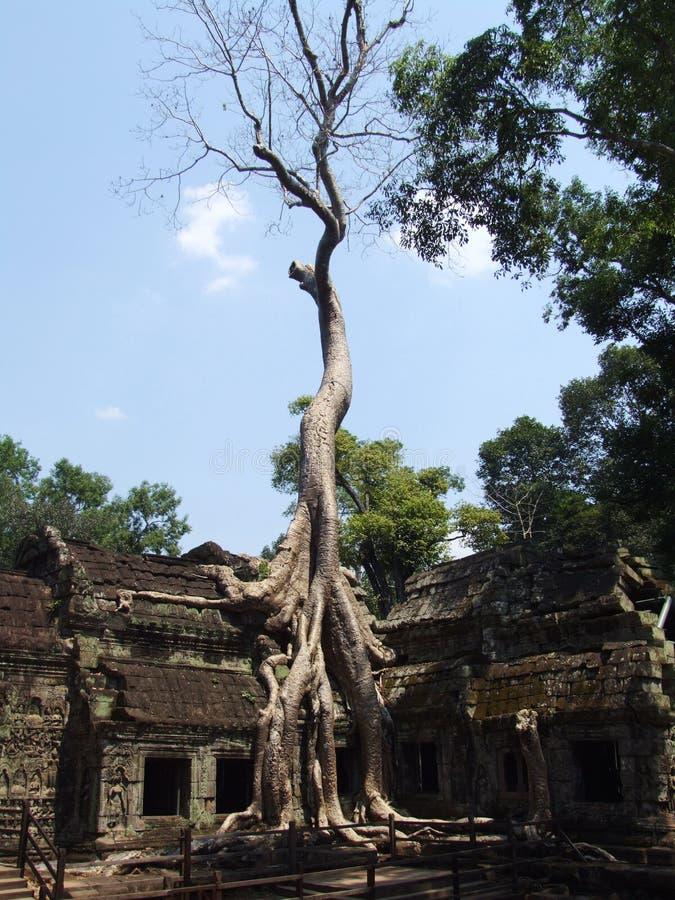 Le grand arbre dans le temple de Prohm de ventres image stock