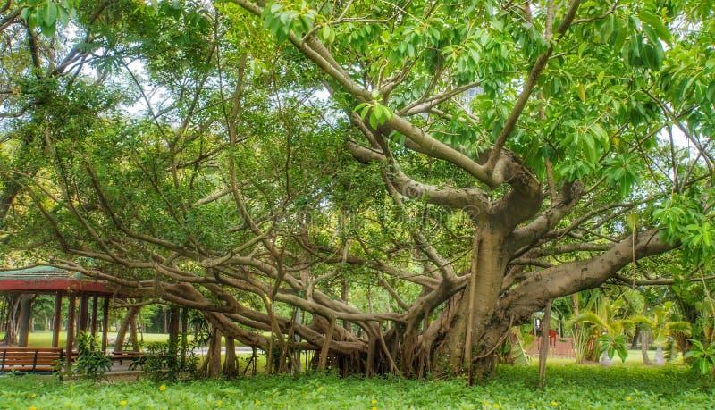 Le grand arbre superbe avec l'expansion s'embranche bien au parc de Daan, Taïpeh, Taïwan images libres de droits
