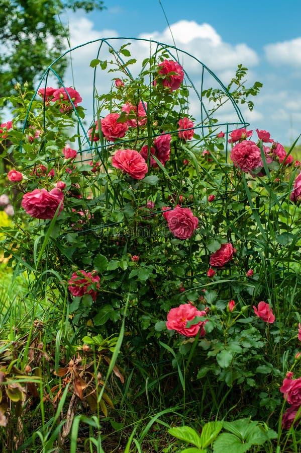 Le grand arbuste du rouge/du rose de floraison s'est levé sur l'appui en métal sur le fond brouillé de ciel vert et bleu image libre de droits