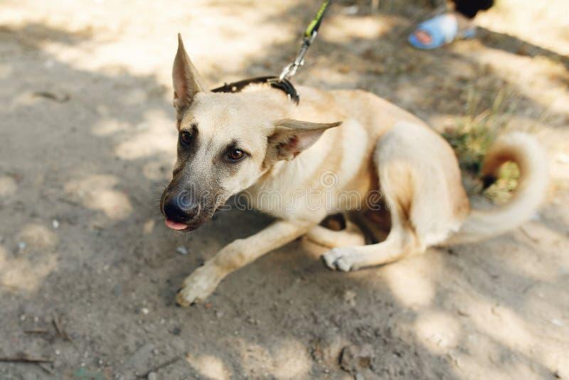 Le grand brun a effrayé le chien de l'abri posant dehors en parc ensoleillé, images stock