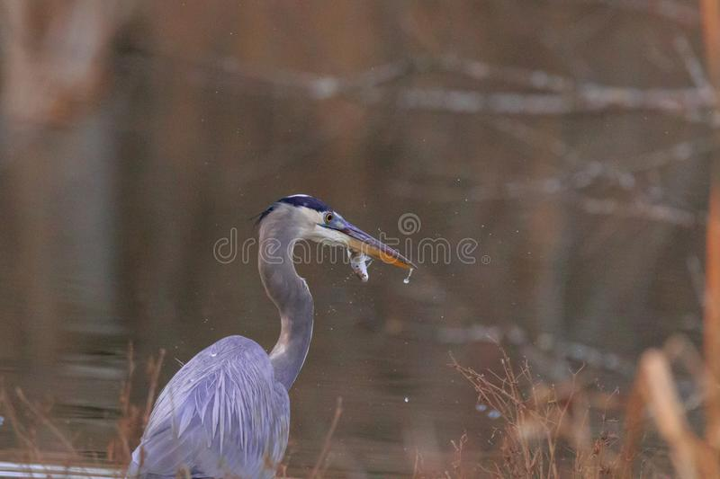 Le grand chasseur photos stock