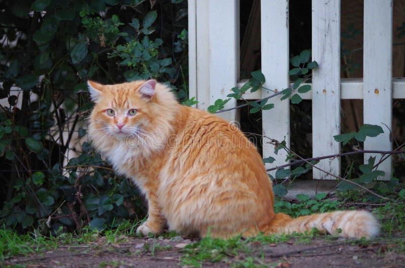 Le grand chat orange examine son royaume photo stock