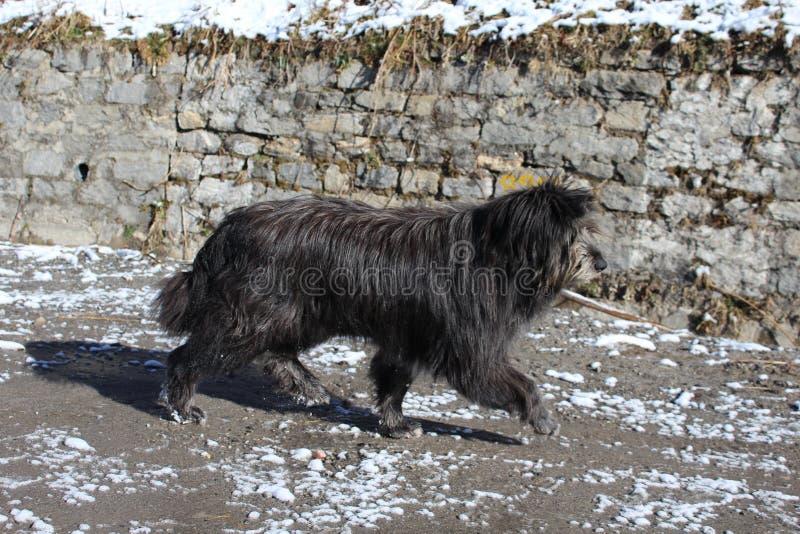 Le grand chien de l'Himalaya photographie stock libre de droits