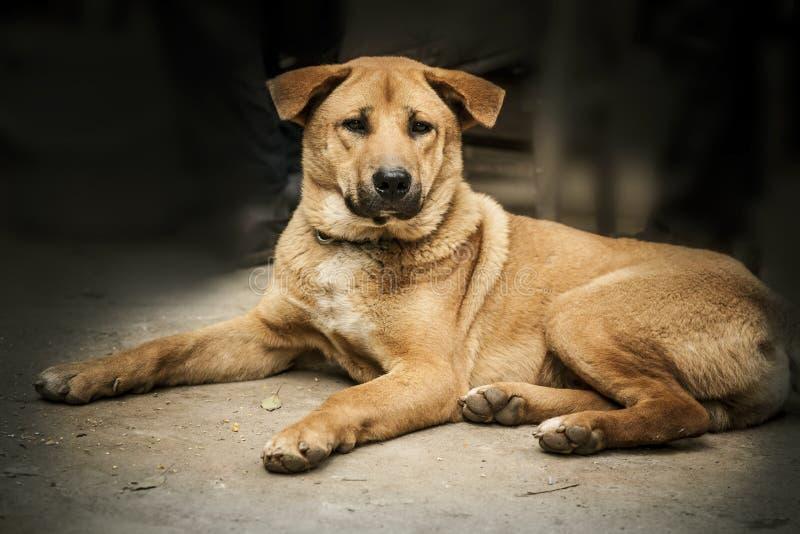 Le grand chien se trouve mammifère pet Chien photos libres de droits