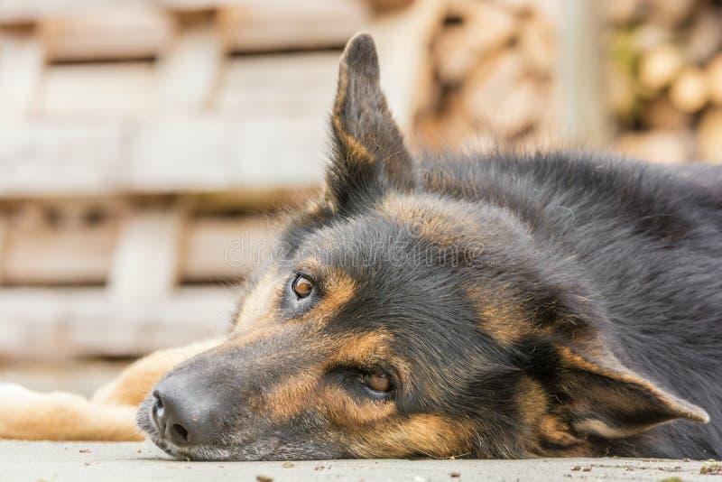 Le grand chien semble curieux pendant une coupure photos libres de droits
